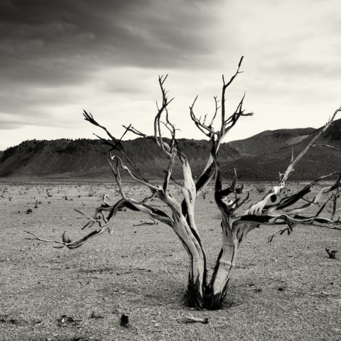 Burnt Bush- Mono Lake