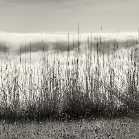 Grasses and Fog- Big Sur
