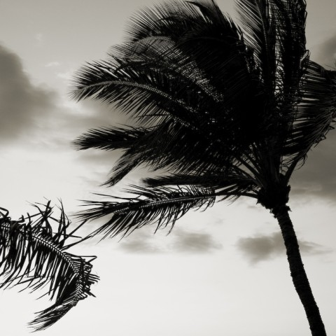 Palms in Wind- Hawaii