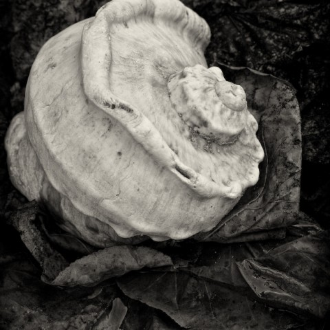 Shell in Leaves- Moorea