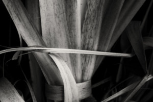 Twisted Pampas Grass 2