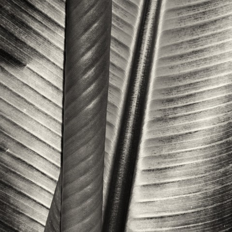 Two Leaves- Moorea